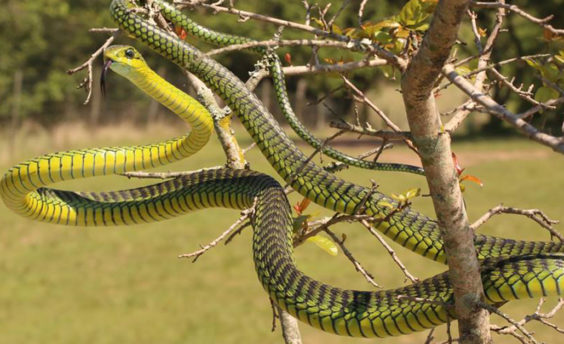 Boomslang caught by Durban snake-catcher Nick Evans